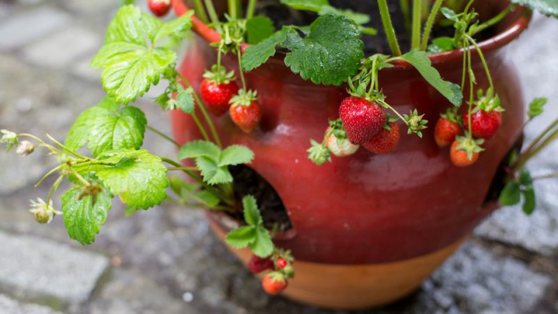 Final results crop strawberries in glazed pot 130715 13072015 13/07/15 13/07/2015 13 13th July 2015 Strawberry Container projects with Kay Maguire Summer photographer Paul Debois berries red berry edible soft fruit pots container containers practical step by step horizontal /m/loader/final_group_loader/Strawberry_Container_projects_Kay_Maguire_PDB_13_7_15/Images/